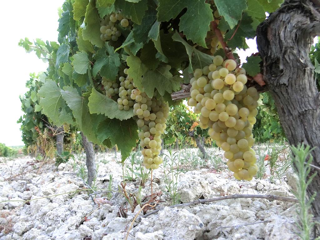 アルバリサ土壌に植わるパロミノ